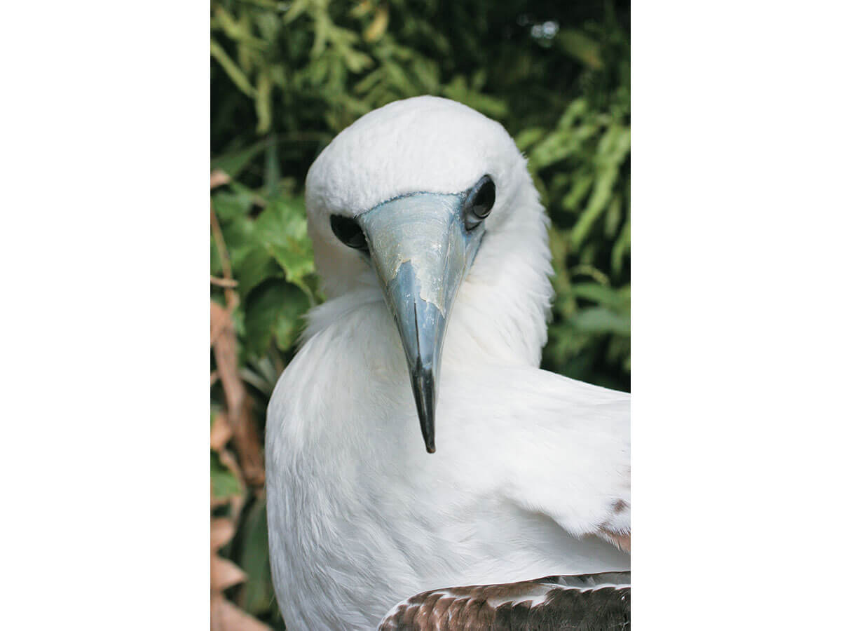 the abbotts booby found only on christmas island